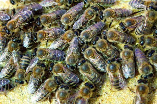 Méhek FendPoll méhtakarmányt habzsolnak