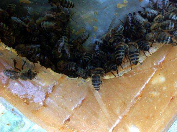 méhek a méherős extra méhtakarmányon