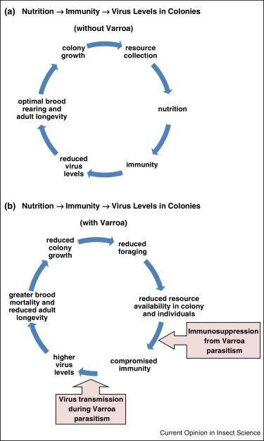 A méhek tápanyagellátási ciklusa, és a varroa hatása