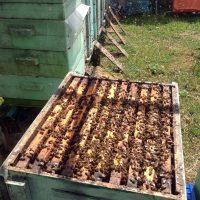 A méhveszteségek és megelőzésük. A helyes méhtakarmányozás jelentősége.
